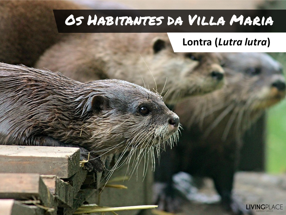Lutra lutra