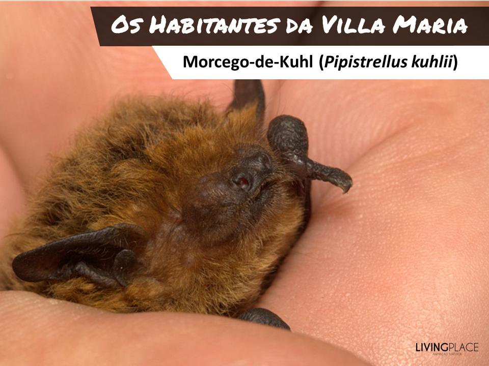 Pipistrellus-kuhlii